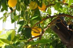 Citrusbaum
